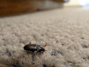 chandler church bug
